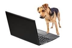 Funcionamento do laptop do cão isolado Fotografia de Stock