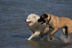 Funcionamento dos cães Imagens de Stock