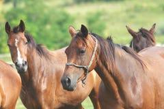 Funcionamento dos cavalos Fotografia de Stock Royalty Free