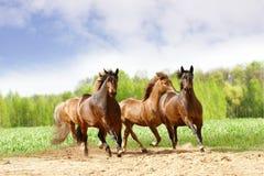 Funcionamento dos cavalos Imagens de Stock Royalty Free