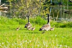 Funcionamento dos gansos e dos pintainhos Fotografia de Stock Royalty Free