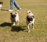 Funcionamento dos Pugs Fotografia de Stock Royalty Free