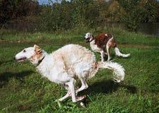 Funcionamento dos wolfhounds do russo Fotografia de Stock Royalty Free