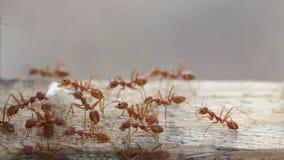 Funcionamento vermelho da formiga do tecelão, andando filme