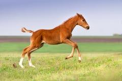 Funcionamento vermelho do cavalo imagem de stock