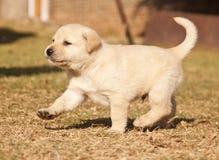 Funcionamentos brancos do filhote de cachorro de Labrador na grama Fotos de Stock Royalty Free