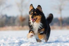 Funcionamentos do cão na neve Imagens de Stock Royalty Free