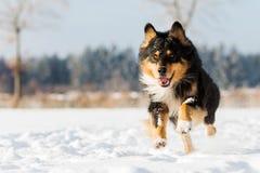 Funcionamentos do cão na neve Imagem de Stock Royalty Free