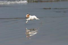 Funcionamentos felizes de um cão na praia fotos de stock