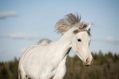 Funcionamiento árabe blanco del caballo Fotos de archivo