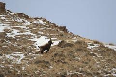 Funcionamiento abajo del cabra montés de la cuesta Cabra en las montañas de Tien Shan Imágenes de archivo libres de regalías