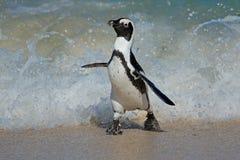 Funcionamiento africano del pingüino Imagen de archivo libre de regalías