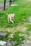 Funcionamiento beige del perrito Foto de archivo libre de regalías