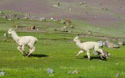 Funcionamiento blanco de las alpacas Fotografía de archivo