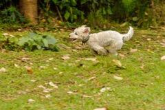 Funcionamiento blanco del perro Foto de archivo