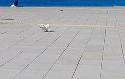 Funcionamiento blanco del perro Imagen de archivo libre de regalías