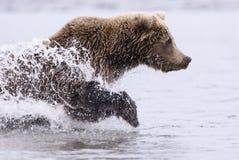 Funcionamiento costero del oso de Brown Foto de archivo libre de regalías