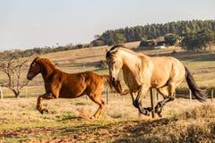 Funcionamiento cuarto americano de los caballos Imagen de archivo