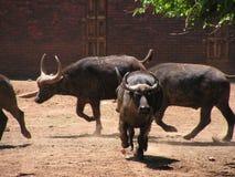 Funcionamiento de Bull fotografía de archivo