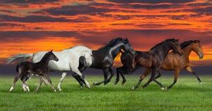 Funcionamiento de cinco caballos al aire libre Imagen de archivo libre de regalías