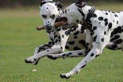 Funcionamiento de dos Dalmatians fotografía de archivo