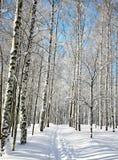 Funcionamiento de esquí en arboleda del abedul del invierno Fotografía de archivo libre de regalías