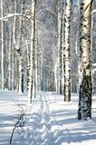 Funcionamiento de esquí en bosque del invierno en luz del sol Fotografía de archivo