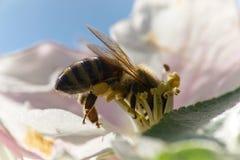 Funcionamiento de la abeja de la miel Foto de archivo libre de regalías