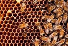 Funcionamiento de la abeja de los insectos Fotografía de archivo libre de regalías