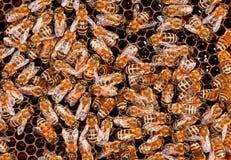 Funcionamiento de la abeja de los insectos Fotografía de archivo