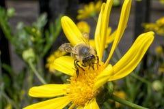 Funcionamiento de la abeja de trabajador Foto de archivo