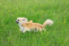 Funcionamiento de la chihuahua Fotografía de archivo