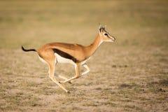 Funcionamiento de la gacela de Thompson femenino, Amboseli, Kenia Fotos de archivo