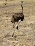 Funcionamiento de la hembra de la avestruz Imagen de archivo