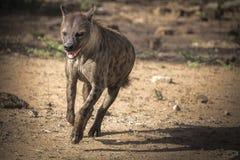 Funcionamiento de la hiena Fotografía de archivo