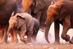 Funcionamiento de la manada de los elefantes imagen de archivo libre de regalías