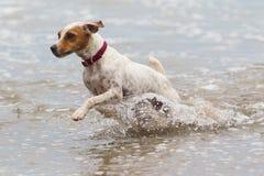 Funcionamiento de la playa del perro Foto de archivo libre de regalías