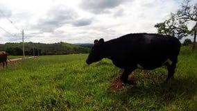 Funcionamiento de la vaca almacen de metraje de vídeo