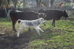 Funcionamiento de la vaca del bebé Foto de archivo