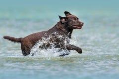 Funcionamiento de Labrador del chocolate Fotografía de archivo libre de regalías