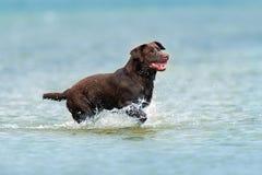 Funcionamiento de Labrador del chocolate Foto de archivo libre de regalías