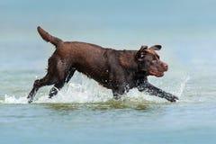 Funcionamiento de Labrador del chocolate Imagenes de archivo