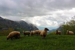 Funcionamiento de las ovejas de montaña imagenes de archivo