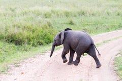 Funcionamiento del africana del Loxodonta del elefante africano del bebé Fotos de archivo