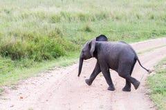 Funcionamiento del africana del Loxodonta del elefante africano del bebé Imágenes de archivo libres de regalías