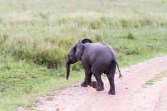 Funcionamiento del africana del Loxodonta del elefante africano del bebé Imagenes de archivo