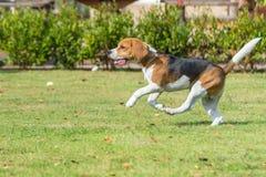 Funcionamiento del beagle Fotos de archivo libres de regalías