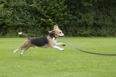 Funcionamiento del beagle del perro al aire libre en un parque imágenes de archivo libres de regalías