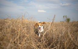 Funcionamiento del beagle feliz sobre el prado Fotos de archivo libres de regalías