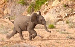 Funcionamiento del becerro del elefante Fotos de archivo
